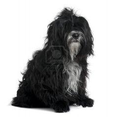 Google Afbeeldingen resultaat voor http://us.123rf.com/400wm/400/400/isselee/isselee1006/isselee100600293/7119980-tibetaanse-terrier-5-jaar-oud-zitten-voor-witte-achtergrond.jpg