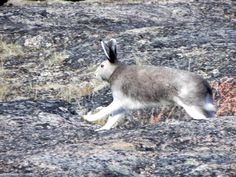 Elfshot: Sticks and Stones: Arctic Hare Arctic Hare, Kangaroo, Wildlife, Sticks, Image, Chinchillas, Hare, Rabbits, Animals