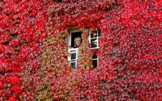 Christine Mountney, manager of Capesthorne Hall, Macclesfield, Cheshire, looks out of an office window surrounded with red Virginia creaper leaves