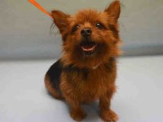 09/19/2016 SUPER URGENT Manhattan center NYC ADOPT SENIOR DOBY – A1090123  MALE, BLACK / BROWN, AUST TERRIER MIX, 7 years old, ex-pet, given up with Mango the cat. Urgently needs an assessment requested by an interested person to determine health and temperament before adoption can take place. Past Due Out Date 09/17/2016.