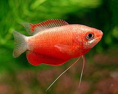Red Honey or Red Robin Gourami  Something I can't have... I have a blue opaline that is seriously aggressive.