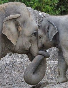 Momma and Baby Elephant Love. Momma and Baby Elephant Love. The Animals, Cute Baby Animals, Funny Animals, Nature Animals, Animals Images, Wild Animals, Elephant Life, World Elephant Day, Elephant Baby
