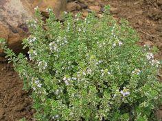 Citroentijm (Thymus citriodorus) | MijnTuin.org