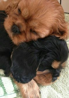 Beautiful wholecolor Cavalier puppies
