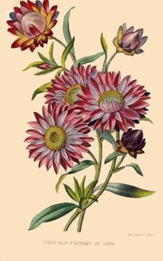 Revue Horticol - Botanical Prints - Illustrated Book Plate Illustration from Revue Horticole - Botanical Print - 01 - STRAW FLOWER Painting Flora Flowers, Botanical Flowers, Botanical Prints, Floral Prints, Vegetable Illustration, Illustration Art, Decoupage, Famous Artwork, Plant Pictures