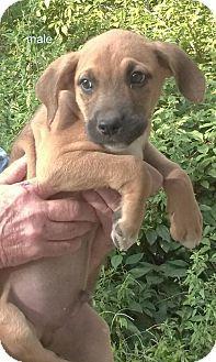 Vernon, IN - Boxer/Labrador Retriever Mix. Meet Boxer/Lab Mix Puppy, a puppy for…