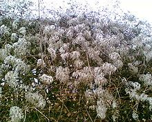 """Clematis - Seed heads of C. vitalba growing in a hedge, showing why it is known colloquially as """"old man's beard""""."""