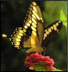 Giant Swallowtail (Papilio cresphontes )
