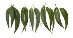 Eucalyptus Leaves Eucalyptus Leaves, Laurel Wreath, Plant Leaves, Plants, Clove Oil, Essential Oils, Plant, Planets