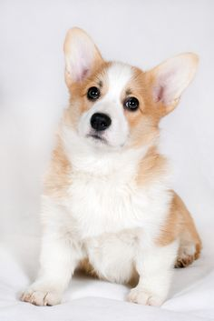 A breed is considered endangered when it has fewer than 300 puppy registrations per year, and by early December, corgis had only 301.   The Pembroke Welsh Corgi Could Soon Be An Endangered Breed