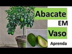 Como ter abacateiro em vaso , Enxerto passo a passo. - YouTube