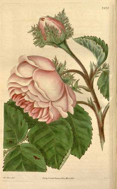 Rosa centifolia L. Curtis's Botanical Magazine, vol. 63 (1836) [Miss. Adams]. Family: Rosaceae, subfamily: Rosoideae, tribe: Roseae. Illustration contributed by the Missouri Botanical Garden, U.S.A.