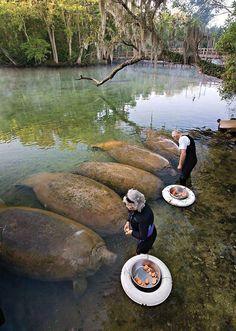 Just manatees feeding on sweet potatoes...