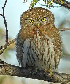 Cape Pygmy-Owl, Mexico