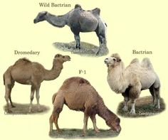 Various type of camels. F1 is the hybrid between dromedary and Bactrian camel