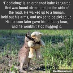 Cute animal facts Orphaned baby kangaroo only want to hug his teddy bear - WTF fun facts Cute Funny Animals, Cute Baby Animals, Funny Cute, Animals And Pets, Wild Animals, 9gag Funny, Funny Humor, Wtf Fun Facts, Awesome Facts