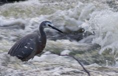 Heron non phased by the waters activity Water Activities, Heron, River, Photos, Image, Pictures, Herons, Rivers, Stork