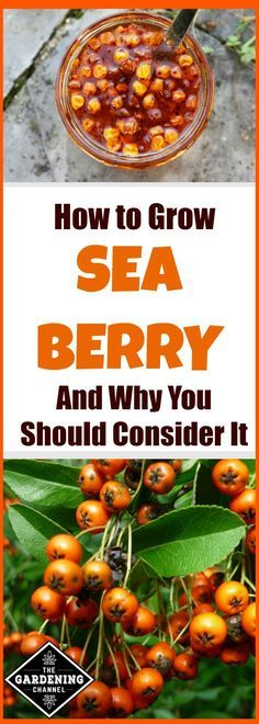 Read about growing sea berry. This hardy perennial shrub may be the perfect fit for your garden. Plant one and see.