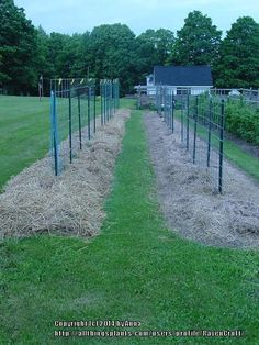My method of using hog panel provides easy access and super support for tomatoes, squash, beans, and gourds alike. I also pile on the straw for moisture retention and weed control. Tomato Cage, Tomato Garden, Vegetable Gardening, Organic Gardening, Tomato Support, Cattle Panels, Weed Control, Growing Tomatoes, Garden Crafts