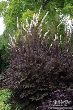 Actaea Black Negligee Our customers report that Black Negligee has much more vigor than the other dark varieties Lacy black foliage just cloaks the lovely dark stems Bea. White Flower Farm, Black Flowers, Moon Garden, Dream Garden, Shade Garden, Garden Plants, Hedges, Gothic Garden, Black Garden