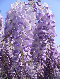 American Wisteria (Wisteria frutescens) beautiful-flowers-and-gardens-around-the-world Flowers Nature, My Flower, Purple Flowers, Flower Power, Beautiful Flowers, Love Garden, Dream Garden, Dame Nature, Gardens