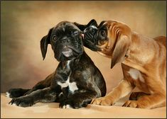 pics of boxer dogs Boxer And Baby, Boxer Love, Funny Dog Pictures, Cute Animal Pictures, Cute Boxer Puppies, Doggies, Rottweiler Puppies, I Love Dogs, Cute Dogs