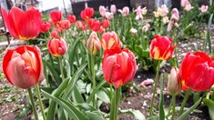 #garden #tulips
