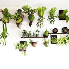 2016/09/17 . もしも…に備えて避難組。 ちょっと風が出て来ましたね。 . #willinckii #ridleyi #coronarium #kitshakood #hillii #streptophylla #tillandsia #airplants #bromeliads #dyckia #platycerium #staghornfern #fern #green #plants #indoorplants #tillandsia #airplants#チランジア #エアープランツ #ビカクシダ #コウモリラン #胃袋リドレイ