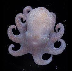 That big head isn't just for show. Octopus's are considered to be among the smartest invertebrates. The have problem solving skills, a very intricate nervous system, and a great deal of memory. The octopus may be the smartest non-mammal creature in the sea.