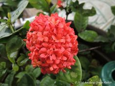Ixora surviving in greenhouse