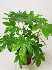 Fatsia japonica, Fatsia o Aralia japonesa (Araliaceae)