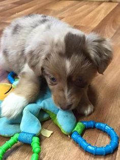 I'm getting my first Aussie. She's a red merle with blue eyes. Parents are registered with ASDR and the male is 15.5 female 15. Her name is Skylar. I'm