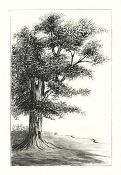 tree charcoal drawing | Oak Tree Charcoal Drawing