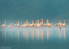 Beautiful Photograph By Bhavya Joshi  Foggy Flamingos..  Capturing Birds with fog its not Easy things as we see, Correct Exposure setting and White balance can give you some unseen Images. I had Boost my ISO upto 1600 to make fog more whitish in water and +1 exposure, only i need to do some color correction :) Enjoy In full or HQ: https://500px.com/photo/195496699/foggy-flamingos-by-bhavya-joshi?ctx_page=1&from=user&user_id=234616 www.Bhavyajoshi.com  Greater Flamingos. Rajkot-17 With Canon…