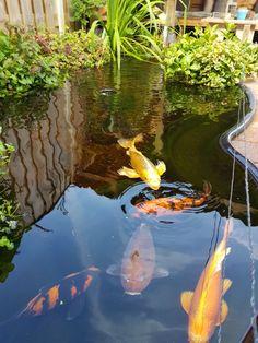 Home Aquarium, Aquarium Design, Koi Fish Pond, Fish Ponds, Small Water Gardens, Koi Art, Tropical Paradise, Pisces, Backyard Ponds