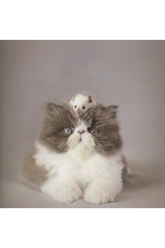 Cute Persian kitty picture