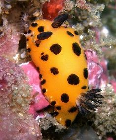 his spectacular looking creature is not an alien lifeform, but one of 3,000 varieties of sea slugs that live on ocean floors around the world. They are among the most visually stunning animals that you could ever hope to see, and while the name sea slug is somewhat yucky, the alternative, nudibranch, sounds rather sophisticated. These amazing mobile works of art can really make you gasp - they look that good!