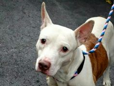 TO BE DESTROYED - 09/27/14 Manhattan Center   My name is HEALY. My Animal ID # is A1014880. I am a male white and brown pit bull mix. The shelter thinks I am about 3 YEARS old.  I came in the shelter as a STRAY on 09/21/2014 from NY 11215, owner surrender reason stated was STRAY. https://m.facebook.com/photo.php?fbid=876003899079157&id=152876678058553&set=a.611290788883804.1073741851.152876678058553&source=43