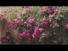 Rose Gardening : How to Cut Roses Off the Bush