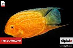 Free photo of cichlid fish (Heros sp.) for download on www.dipixio.com #freephoto #freebie #dipixio #freedownload