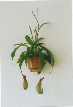 Pitcher plant. I had one but it died over winter even inside. Would like to try again.