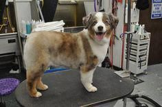 We all love the long luxurious hair of the Australian Shepherd. If you have an Australian Shepherd, find out what are the best grooming styles for them. Toy Aussie, Aussie Puppies, Mini Aussie, Dogs And Puppies, Australian Puppies, Doggies, Corgi Puppies, Grooming Australian Shepherd, Australian Shepherd Red Tri