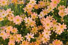 Top 10 Plants for Clay Soil: Coreopsis