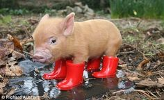 a baby pig. IN BOOTS. Michael said I could have a piggy as soon as our dogs are grown and out of the house.  I'm SO EXCITED!!