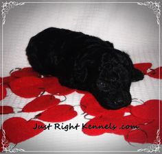 Just right kennels black poodle puppy