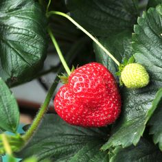Ultimate strawberries and Ice Cream © www.inspiredcompany.com© www.ice-cream-magazine.com