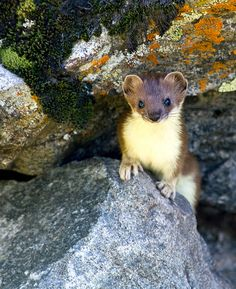 INDONESIAN MOUNTAIN WEASEL....found on the islands of Java and Sumatra at altitudes of over 3,280 feet....measures 11–12 inches with a 5–6 inch tail.....prefers mountainous, tropical, and rainforest mountains