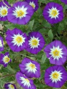 25+ Dwarf Ensign ROYAL Morning Glory Seeds ~Perennial Garden Vine ~Short Vines #RainbowSeedsandSupplies