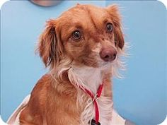 Pictures of Emmy a Dachshund Mix for adoption in Portland, OR who needs a loving home.