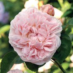 St. Swithun - Englische Rosen - Suche nach Rosentyp